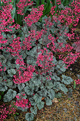 Rave On Coral Bells (Heuchera 'Rave On') at Pasquesi Home & Gardens