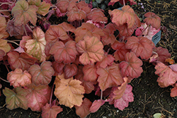 Southern Comfort Coral Bells (Heuchera 'Southern Comfort') at Pasquesi Home & Gardens