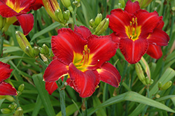 Chicago Apache Daylily (Hemerocallis 'Chicago Apache') at Pasquesi Home & Gardens