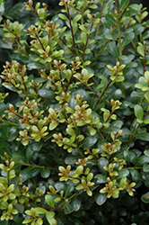 Compact Inkberry Holly (Ilex glabra 'Compacta') at Pasquesi Home & Gardens