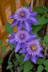 Multi Blue Clematis (Clematis 'Multi Blue') at Pasquesi Home & Gardens