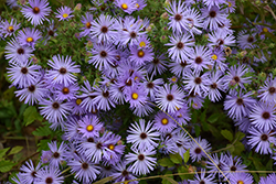 October Skies Aster (Aster oblongifolius 'October Skies') at Pasquesi Home & Gardens