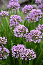 Summer Beauty Ornamental Chives (Allium tanguticum 'Summer Beauty') at Pasquesi Home & Gardens