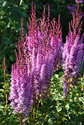 Superba Chinese Astilbe (Astilbe chinensis 'Superba') at Pasquesi Home & Gardens